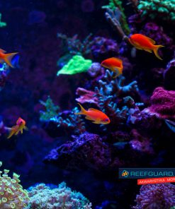 Pseudanthias Squamipinnis Stado 7szt Papużak łuskopłetwy