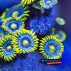 Blue Berry Pie Zoathus