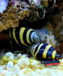 Bumble Bee Snail Pusiostoma (engina) Mendicaria ślimak pogromca ślimaków osiadłych