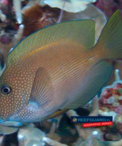 Ctenochaetus Strigosus Blue Eye XL