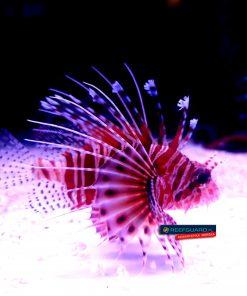 Devil Lion Fish Pterois Miles Skrzydlica