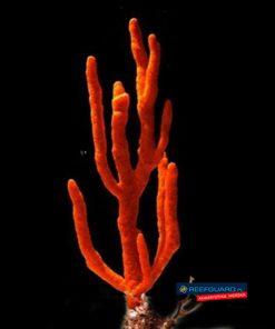 Gąbka morska Red Tree Sponge Ptilocaulis sp.