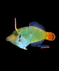 Pervagor melanocephalus Red Tail Filefish Brzydal