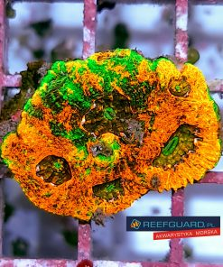 Acanthastrea echinata orange green eye ACAH0001