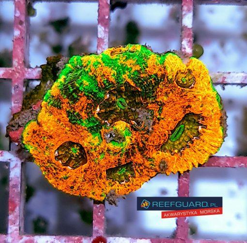 Acanthastrea echinata orange green eye ACAH0001