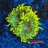 Catalaphyllia Jardinei WYSIWYG C001 yellow tip