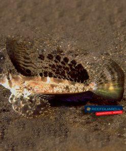 Dactylopus dactylopus Dragonet smoczek