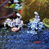 Harlequin Shrimp dobrana para krewetka hymenocera elegans
