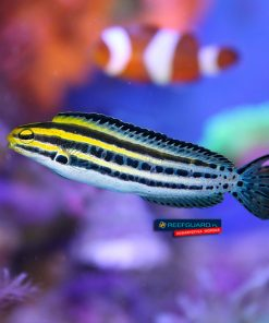 Meiacanthus grammistes Striped fang blenny