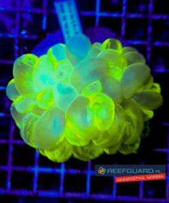 Plerogyra sinuosa metallic green Bubble Coral