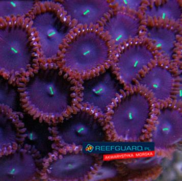 Purple People Eater Zoanthus