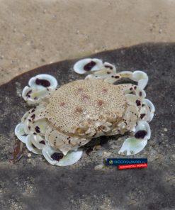 Spotted moon crab WHITE krab księżycowy