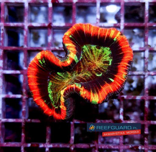 Trachyphyllia geoffroyi Red Rim Ultra