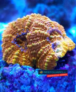 Acanthastrea echinata orange ACA0014 WYSIWYG