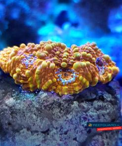 Acanthastrea echinata orange ACA0015 WYSIWYG