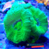Acanthastrea lordhowensis green ACA0017 WYSIWYG