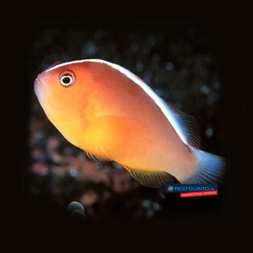 Amphiprion akallopisos Skunk clownfish Błazenek