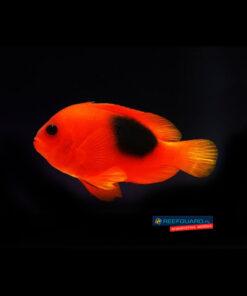 Amphiprion ephippium Fire Clownfish ognisty błazenek