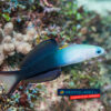 Ptereleotris evides Scissortail Dartfish