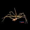Stenorhynchus seticornis Arrow Crab