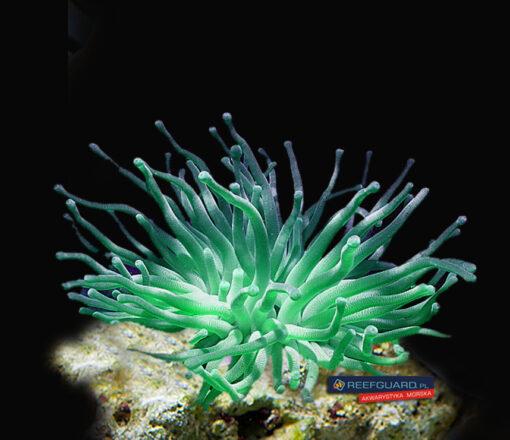 Condylactis gigantea green fluo ukwiał
