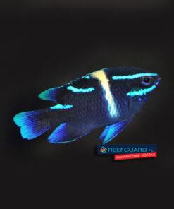 Neoglyphidodon oxyodon Blue Velvet Damselfish